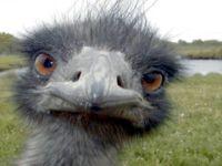 Emu Johnson