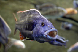Purple Lipped Fish