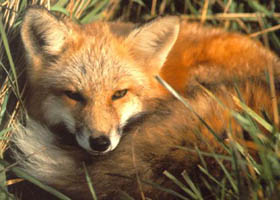 Smug Red Fox